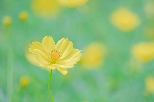 Kibana Cosmos (Lemon Bright)