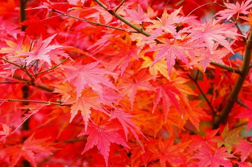 Autumn Kyoto autumn leaves red maple background