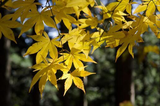 Yellow autumn leaves 2