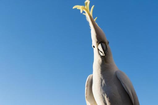 澳大利亞基巴丹野鳥英文名稱Cockatoo早晨的藍天和一隻鸚鵡2