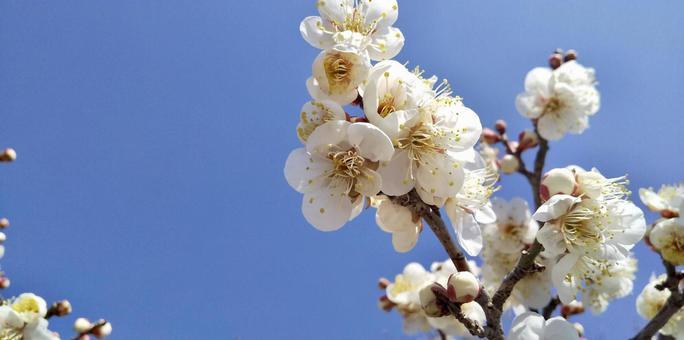 [꽃] 매화의 꽃과 푸른 하늘 봄 자연