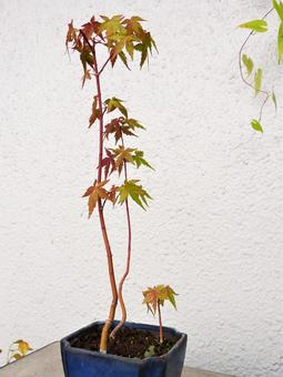 Maple bonsai literary tree