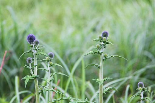 タデ原湿原の花 ヒゴタイ