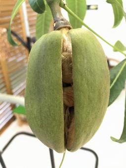 Pachira seeds