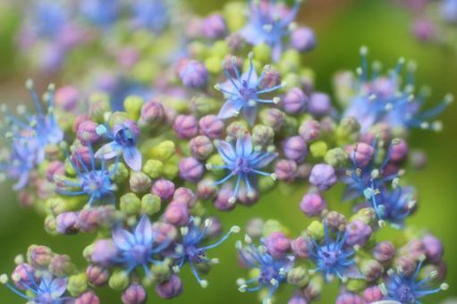 Hydrangea flower up