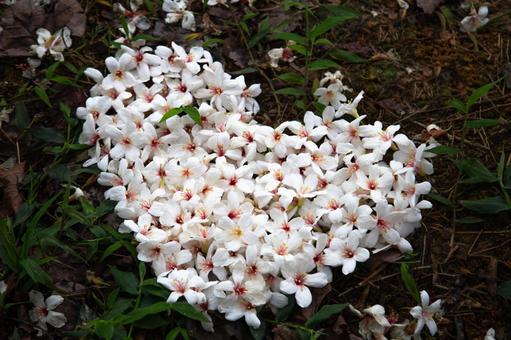 """Taiwan, Hakka symbol """"paulownia flower"""""""