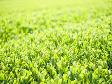 신차의 새싹 차밭
