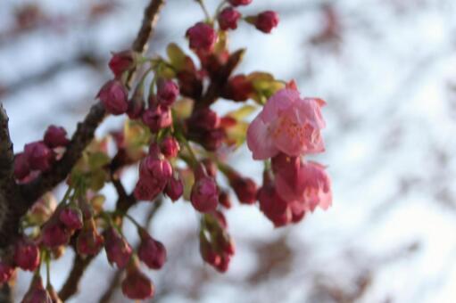 New Year Sakura