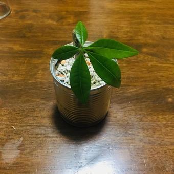 Small size pachira