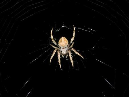 Night's spider