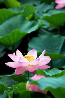 Lotus flowering Lotus flowers and big leaves