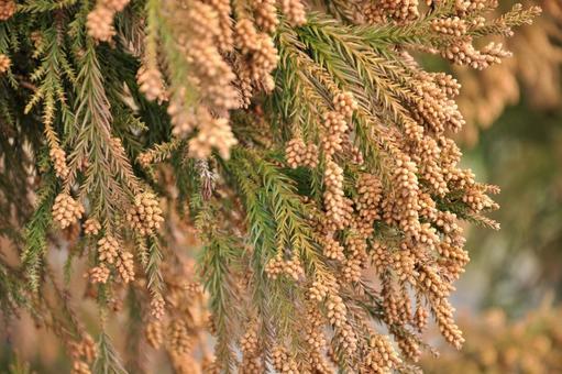 삼나무 (잎, 수꽃)