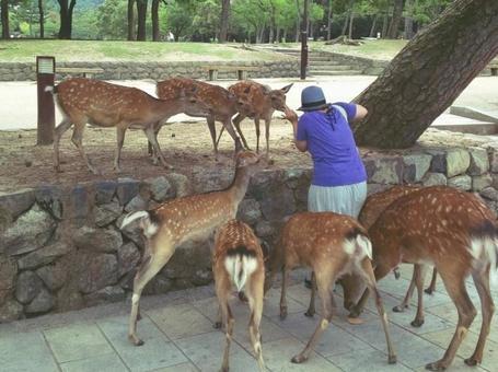 나라 공원에서 사슴에 포위 된 여성