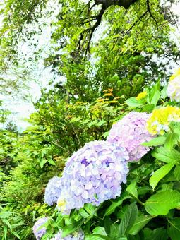 Hydrangea blooming in the mountains 1
