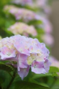 Pink Hydrangea 2