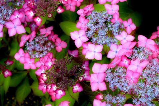 Hydrangea vivid hydrangea purple pink