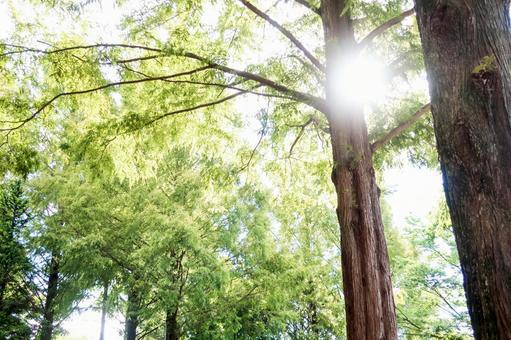 Midsummer cedar tree