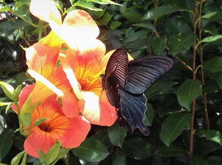 검은 호랑 나비
