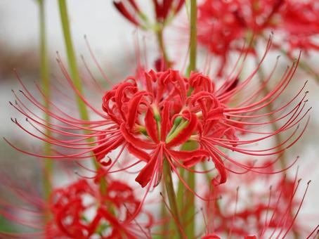 피안 꽃 (비와코 호반에서)