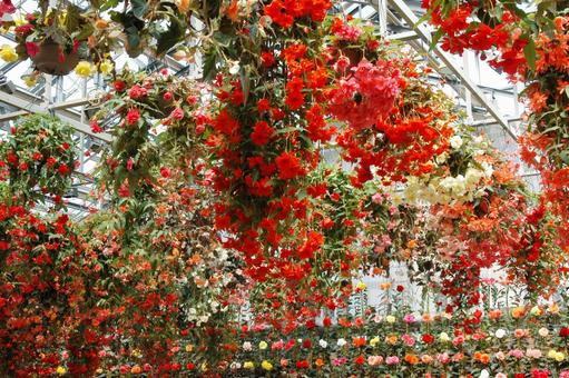 Color of begonia