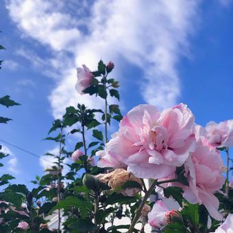 秋天的陽光明媚和粉紅色的玫瑰