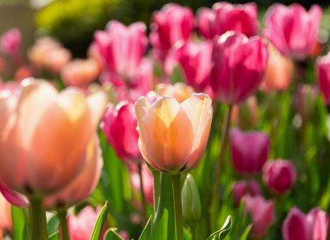 핑크의 아름다운 튤립 봄 꽃 배경