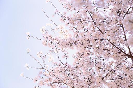 만개 한 벚꽃 1