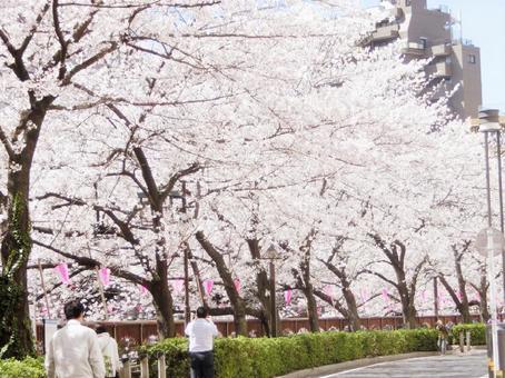 Cherry blossoms of Meguro River 2