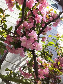 Flower peach blossom