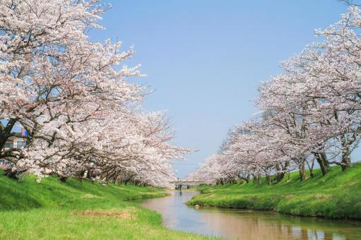 Blue sky and rows of cherry blossom trees