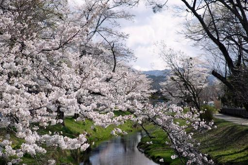 Cherry blossoms in spring stream