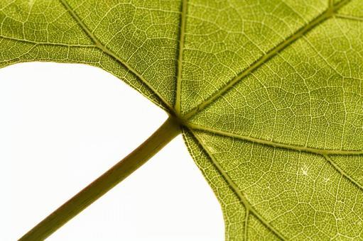 양배추의 잎 끝 (한장 잎 줄기 포함) 1