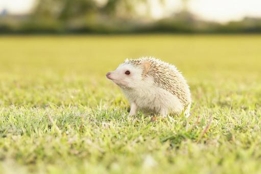 Hedgehog at twilight