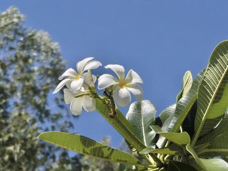 Plumeria (2)