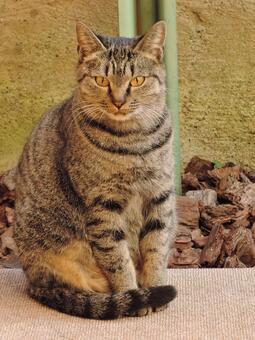 Stray cat gray black striped forward 3