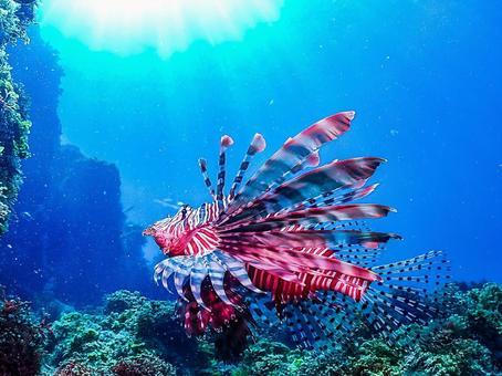 Underwater photograph (lionfish)