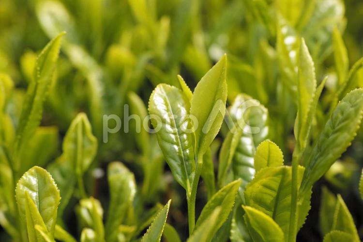 茶の新芽の写真