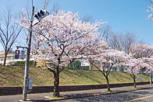 """Walking around Koganehara · Spring """"Sakura"""" # 1"""
