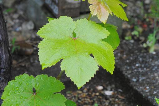 포도의 새잎