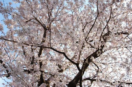 Cherry blossoms in full bloom that shine in the blue sky