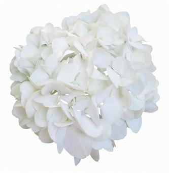 Cut out material hydrangea white