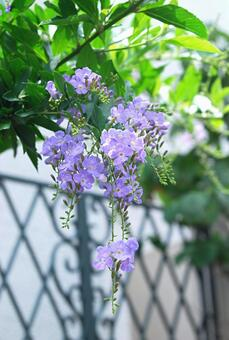 Duranta and the gate