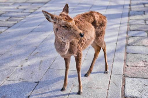 조약돌에서 좌측을 향 겨울 머리의 사슴
