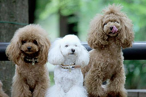 Toy poodle 3 3