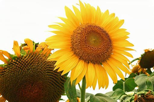 Sunflower (2015) # 51