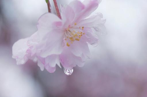 벚꽃의 물방울