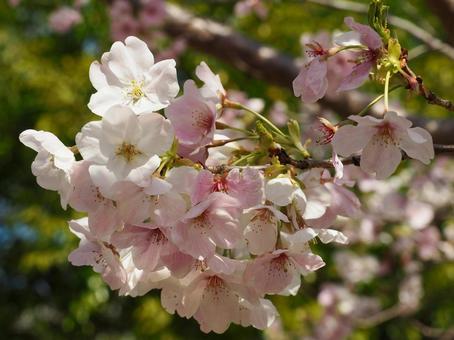 흰색과 분홍색의 벚꽃