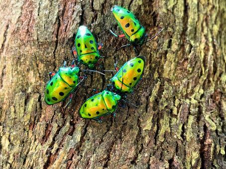 Nana Hoshikin stink bug