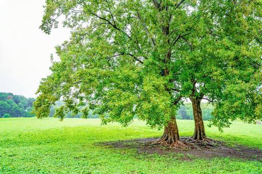 Acer buergerian tree on a rainy day
