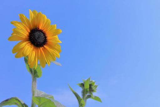 Powerful sunflower flowers blooming in the summer sky Sunflower sunflower